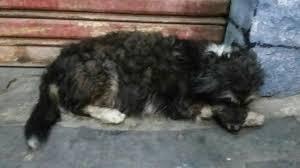 Cachorra grávida vive nas ruas e precisa de resgate em São João ...
