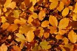 Wallpapers Backgrounds - File Copper Beech Fagus sylvatica purpurea Autumn Leaves Closeup 3008px (wiki File Copper Beech Fagus sylvatica purpurea Autumn Leaves Closeup wikipedia commons 3008px wikimedia org 3008x2000)