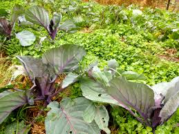 Manure For Vegetable Garden by Replenishing The Market Garden With Winter Green Manures