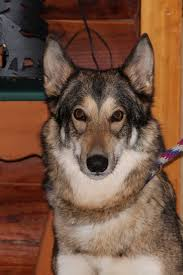 husky x australian shepherd for sale the tragedy of wolf dogs
