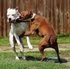 gladiator pitbull dogs