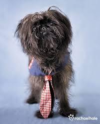 oldest affenpinscher 116 best affenpinscher images on pinterest animals toy dogs and