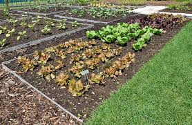intensive planting in the vegetable garden harvest to table