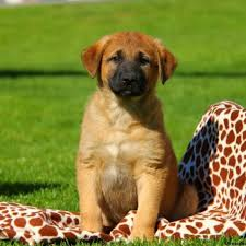 australian shepherd and lab mix anatolian shepherd mix puppies for sale greenfield puppies
