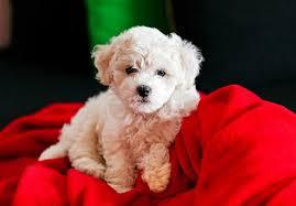 bluetick coonhound puppies for sale in ohio bichon frise puppies for sale akc puppyfinder
