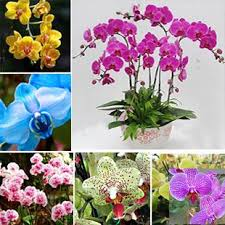 online cheap butterfly orchid seeds phalaenopsis orchids seeds