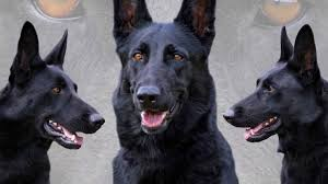 belgian shepherd uk breeders black german shepherd youtube