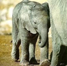 حبايبى الحلوين .. تعالوا نتعرف على .. ( الفيل ) ..