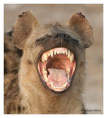 Animals Hyena
