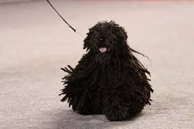 belgian sheepdog national specialty 2018 puli u201cpreston u201d wins best in show at largest ever akc national