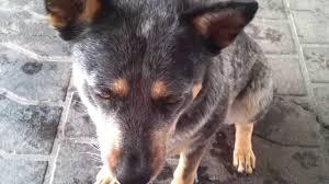 australian shepherd queensland heeler blue heeler australian cattle dog tricks youtube