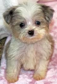 3 australian shepherd mix puppies for adoption aussie poo puppy for sale in boca raton south florida
