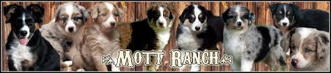australian shepherd queen creek az mott ranch australian shepherd puppies
