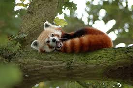 Crveni panda Images?q=tbn:ANd9GcT73gY617O6t_3YymxDrKG5f4_SVURc8cnVHem8ClB99lq0YCUBJw