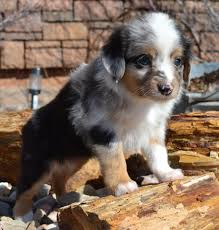 australian shepherd qualities about us color country aussies