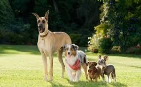 australian shepherd queensland heeler marmaduke the review and a teeny psa u2013 pawcurious with