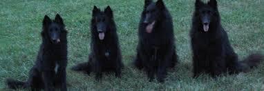 belgian sheepdog breeders in texas belgian sheepdog rescue trust belgian sheepdog club of america