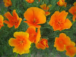 <b>Eschscholzia</b> - Wikipedia, the free encyclopedia