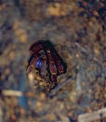 Blue fang tarantula