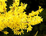 <b>Forsythia</b> flowersOne evening