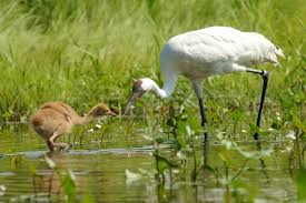 whooping crane recovery puts human u0027parents u0027 out of a job