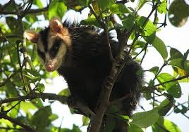 Gambá é resgatado em área urbana e devolvido à natureza - ANDA ...