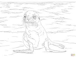 zealand sea lion print download coloring pages animal