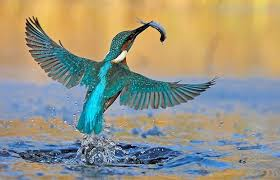 Image result for kingfisher