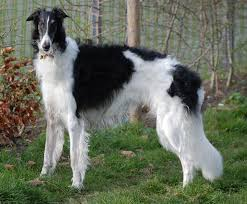 belgian sheepdog chow mix borzoi dog facts pictures breeders temperament puppies
