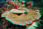 Image result for Acropora clathrata