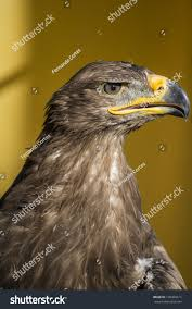 bird golden eagle detail head large stock photo 190458611