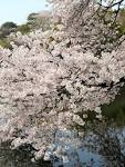 Cherry Blossoms Asian Dating Site Review