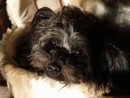 affenpinscher brown russian tsvetnaya bolonka dog breed information and pictures