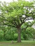 Image result for Quercus fusiformis