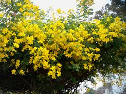 Flowers Plants by Yellow Flowering Tree At Constance U0026 Annunciation Flowering