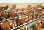 Élevage de volailles | Systèmes alternatifs | Big Dutchman