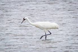 bird watchers gather to learn about whooping cranes victoria