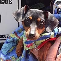 bluetick coonhound oregon portland or pet adoption oregon dachshund rescue inc has dogs