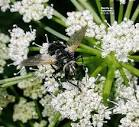 Bee-fly on <b>Apiaceae</b>,