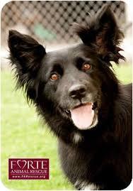 belgian sheepdog breeders in texas lola adopted dog 850 marina del rey ca border collie
