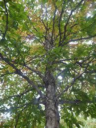 White Oak Bark Swamp White Oaks At The 911 Memorial In New York International