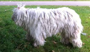 afghan hound long haired dogs top 13 long haired dog breeds will make envy pet comments