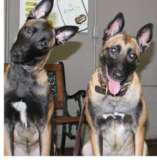 belgian malinois ear cropping tuesday u0027s tail a weekly dog related article or short story