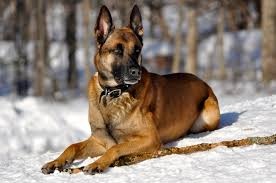 belgian shepherd uk breeders top 10 famous police dog breeds that are intelligent