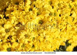 Tree With Bright Yellow Flowers - yellow leaf stock photo 664523167 shutterstock