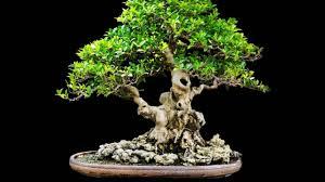 Maple Tree Symbolism by Bonsai Meaning Various Interpretations Youtube