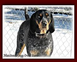 bluetick coonhound puppies for sale in ohio bluestone blueticks old fashioned bluetick coonhound puppies in wv