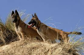 belgian malinois ear cropping belgian malinois altamaha canine consulting