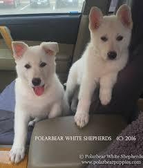 belgian shepherd stuffed animal white german shepherd dogs u0026 puppies polarbear
