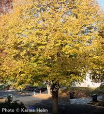 Tree With Bright Yellow Flowers - littleleaf linden tilia cordata wonderful shade tree pleasing form
